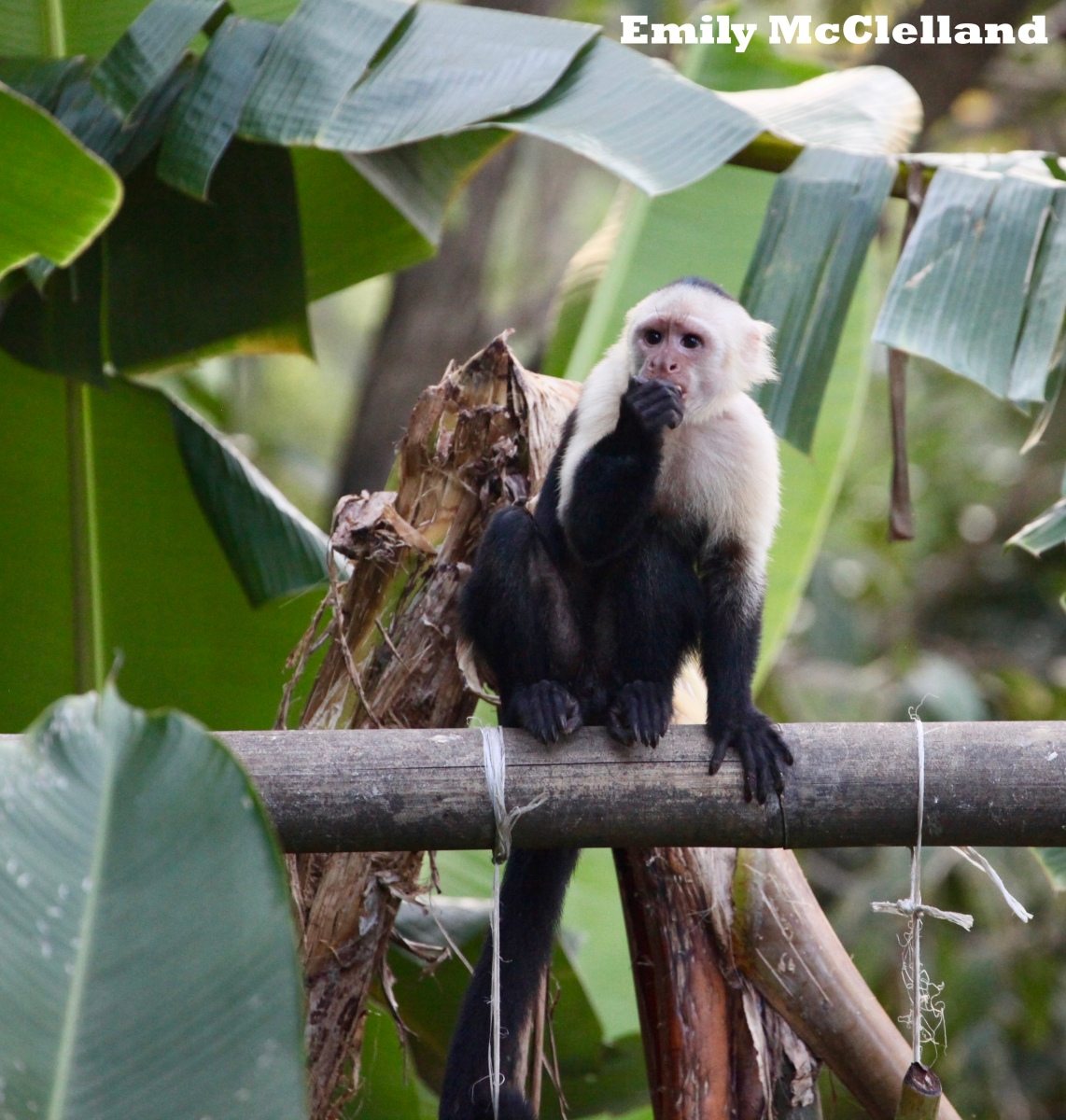 The White-Faced Capuchin