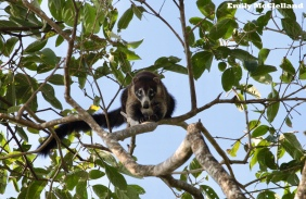 The cheeky White-nosed Coati