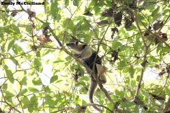 An anteater (Northern Tamandua) high in the trees.