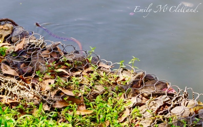 Snake in Kandy Lake